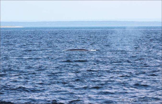 whale_tadoussac_4